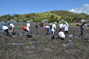 Mangroves Plantation to combat the effects of climate change in the south-east of Mauritius